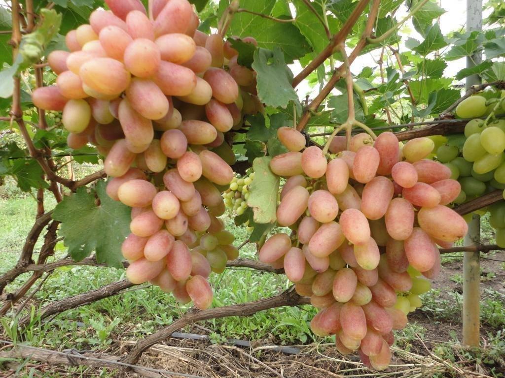 Сорт винограда оригинал: фото, отзывы, описание, характеристики.