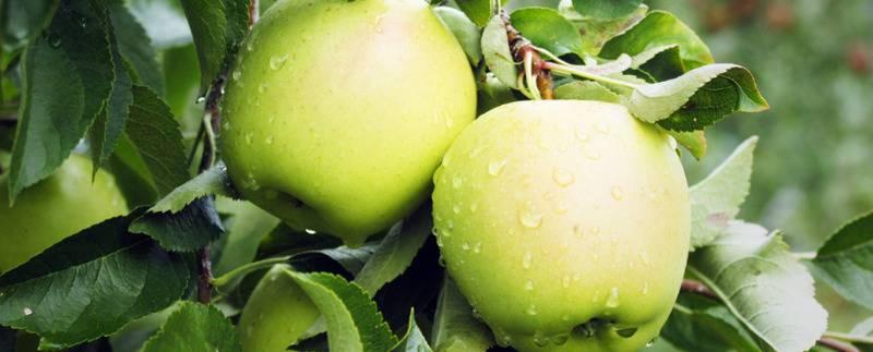 Зеленые яблоки при диете: влияние на организм и тонкости употребления