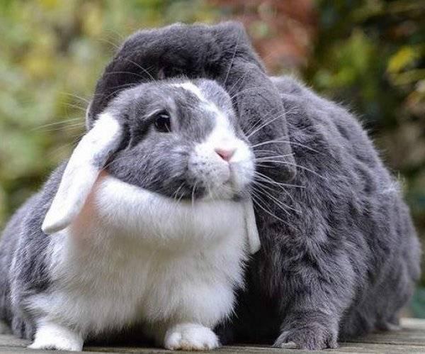 Искусственное осеменение кроликов, особенности крольчих