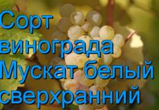 Какие существуют сорта мускатного винограда