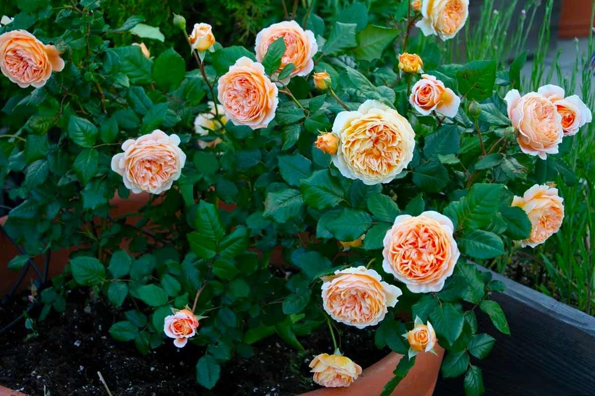 Пионовидная роза – 5 фактов об этом удивительном цветке | женские новости
