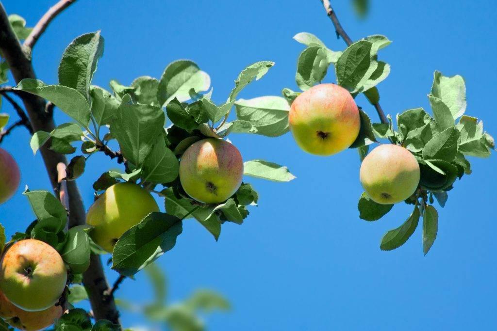 Медуница, подробности о выращивании яблони и описание ее характеристик