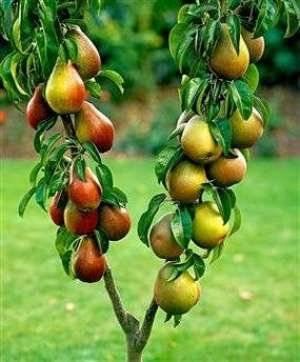 Как и когда прививать плодовые деревья зелеными черенками