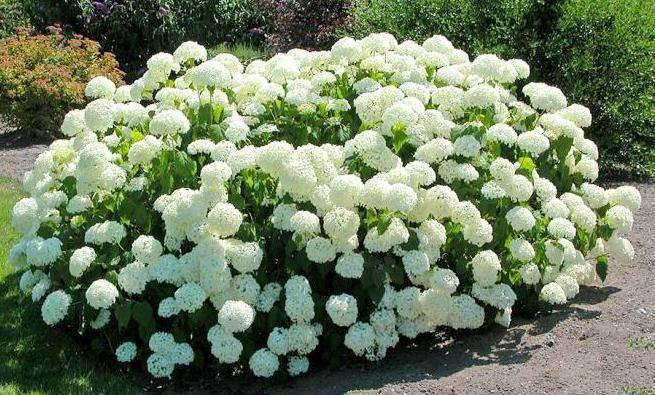 Как вырастить гортензию в саду: посадка уход, фото