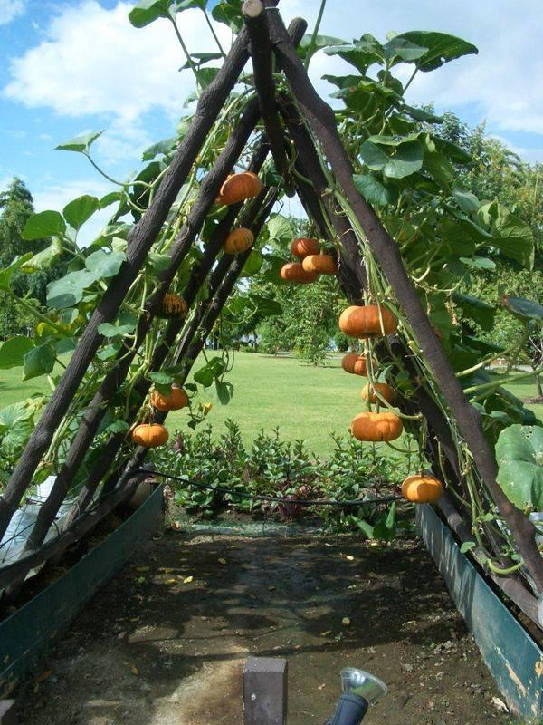 Как вырастить хороший урожай тыквы? как заставить тыкву плодоносить? советы. фото — ботаничка.ru