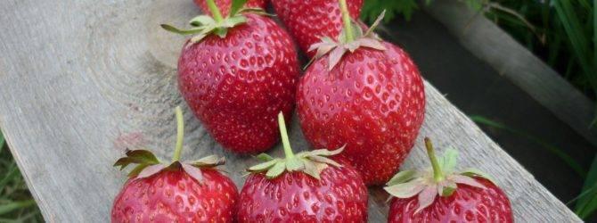 Сорт клубники корона: описание, выращивание и уход