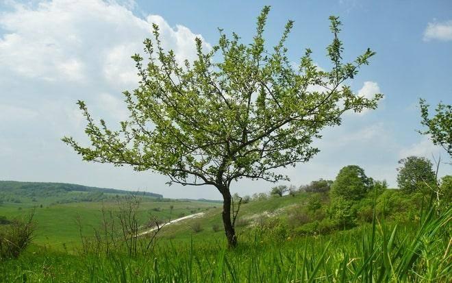 Яблоня цветет но не плодоносит