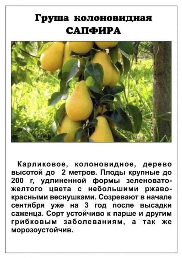 Колоновидная груша: особенности выращивания и 5 лучших сортов