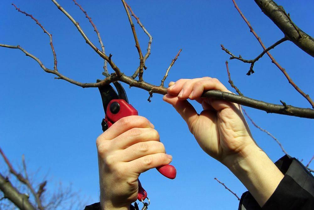Обрезка вишни: сроки сезонной обрезки, схемы формирования кроны и рекомендации как правильно обрезать вишню (95 фото)