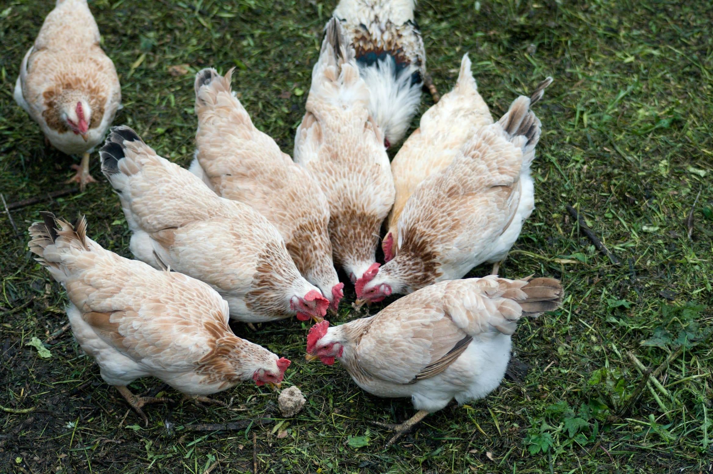 Загорская лососевая порода кур: описание, характеристики и фото представителей   golubevod.net