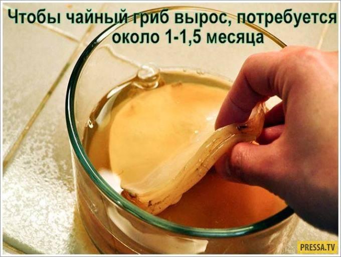 Правила употребления чайного гриба