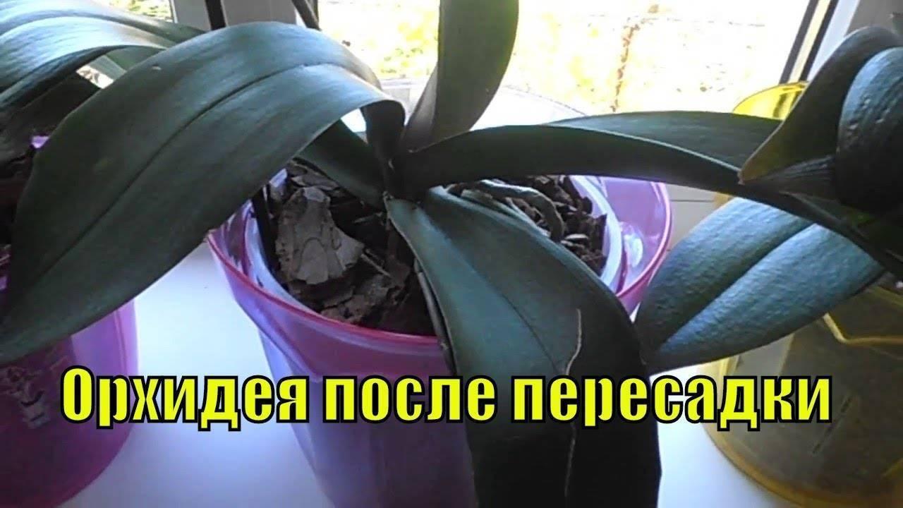 Пересадка орхидеи в домашних условиях: правила, когда и как правильно лучше перемещать фаленопсис в больший горшок, что нужно для последующего цветения - видео на русском языке с фото пошагово