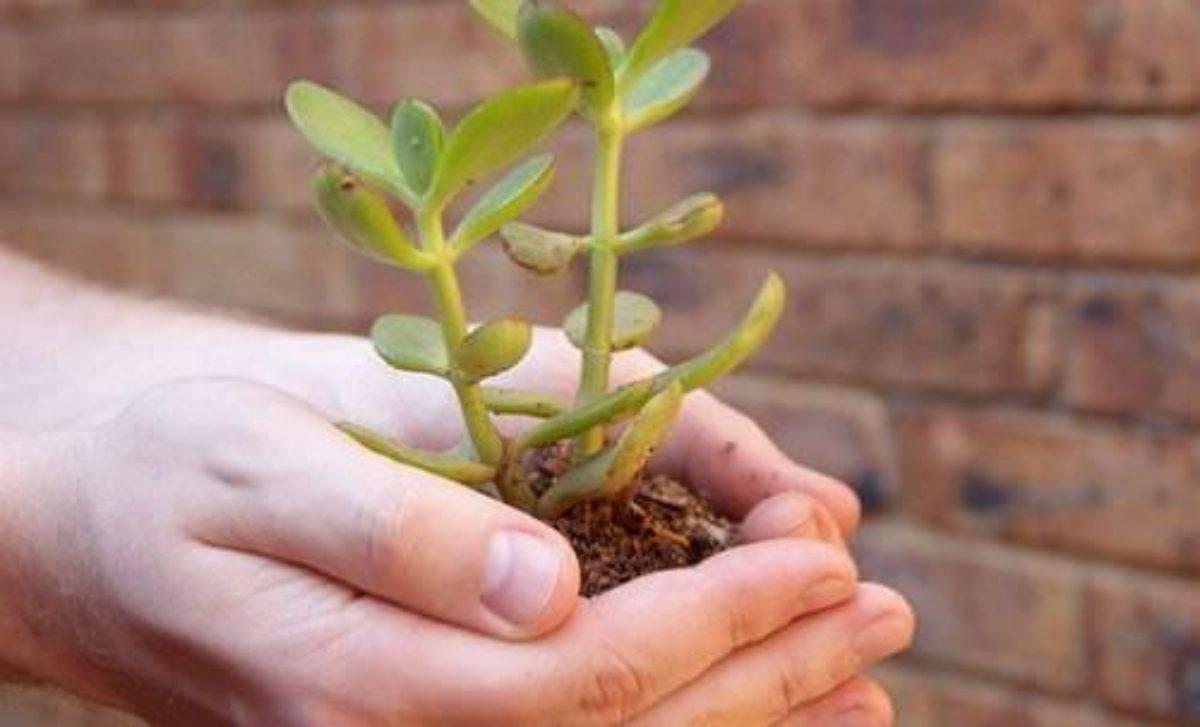 Пересадка денежного дерева в домашних условиях: грунт и горшок, уход после