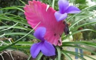 Тилландсия атмосферная: правила ухода за растением в домашних условиях. описание видов и способы их размножения