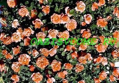 Когда и как пересаживать розы осенью на другое место?
