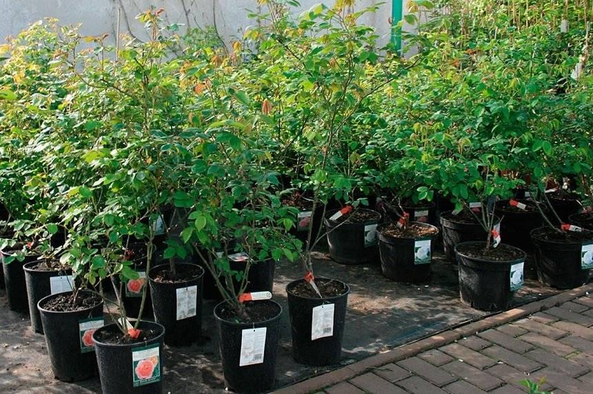 Как посадить розы осенью. пошаговая инструкция для цветоводов