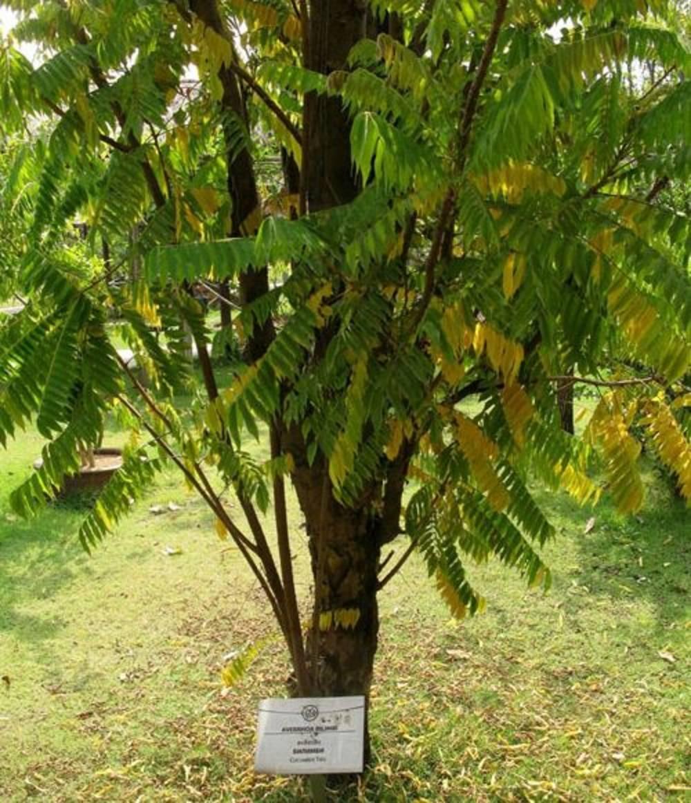 Билимби — огуречное дерево