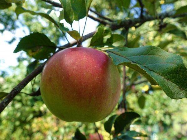 Яблоня уэлси: описание сорта и фото selo.guru — интернет портал о сельском хозяйстве