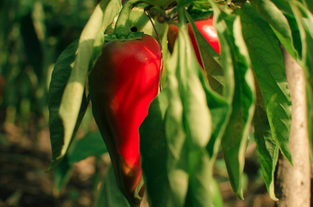 Перец купец - характеристика и описание сорта, фото, урожайность, отзывы овощеводов, видео