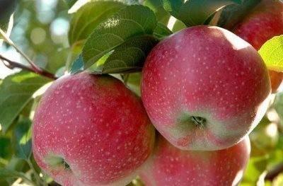 Яблоня лобо: описание, фото, отзывы, посадка и уход