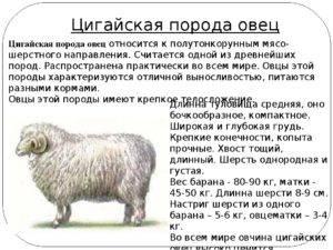 Цигайская овца: описание и особенности породы