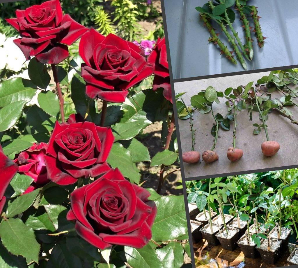 Различные способы, как укоренить черенок розы из букета