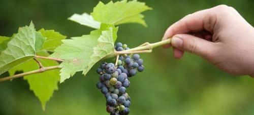Как правильно укрывать виноград на зиму