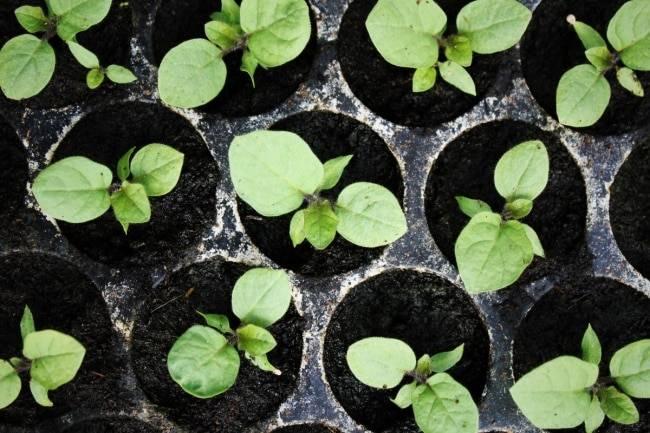 Чем подкормить рассаду баклажан для хорошего роста: правильный уход в домашних условиях