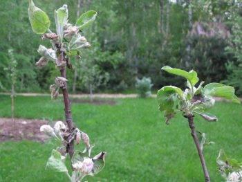 Мучнистая роса на яблони, и как бороться с этим заболеванием