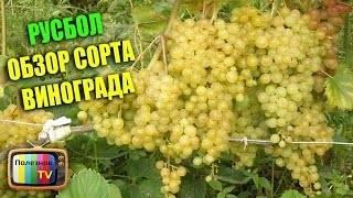 Виноград русбол: описание и особенности сорта, посадка и уход, размножение