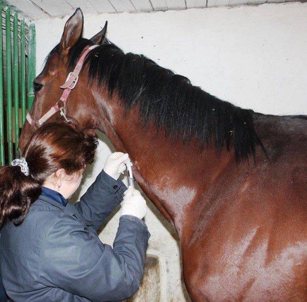 Разнообразные болезни у лошадей: их симптомы и лечение, особенности заболеваний у взрослых и у молодняка