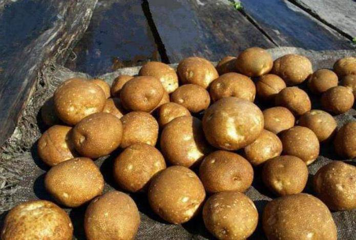 Сорт картошки киви: описание сорта, фото, отзывы дачников