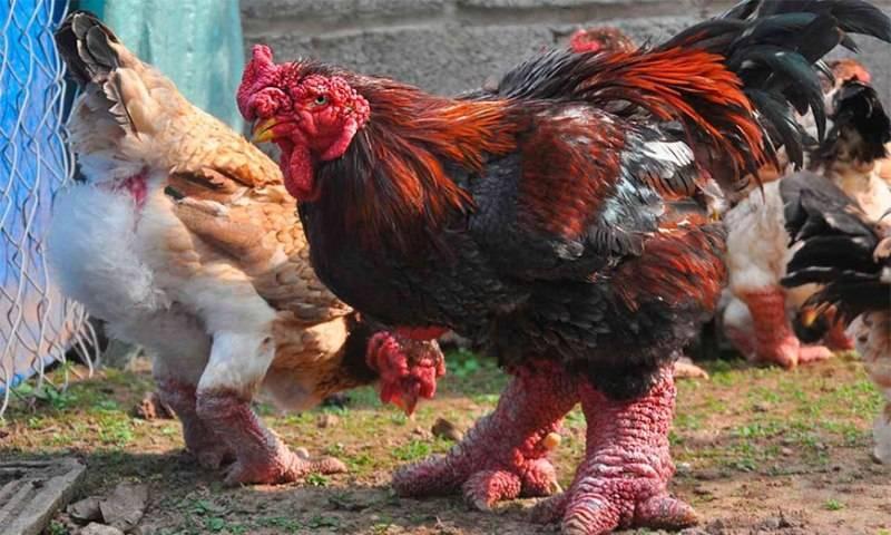 Породы кур-несушек: 5 лучших для личного подворья, как выбрать на рынке, для подсобного хозяйства, рейтинг по яйценоскости