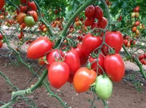 """Томат """"анастасия"""": полное описание сорта и особенности выращивания, характеристики помидоров и фото русский фермер"""