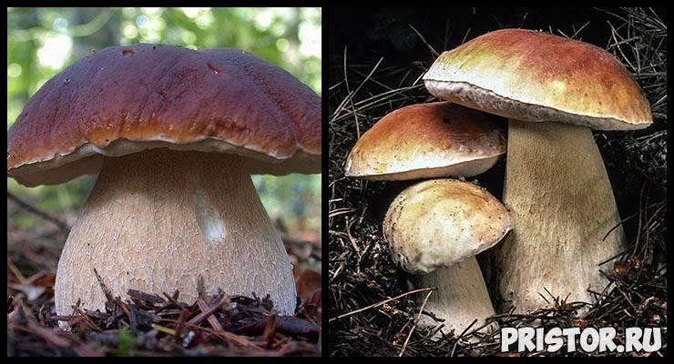 Боровик – царский гриб. виды боровиков