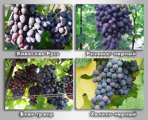 Основные свойства черного винограда, польза и вред для организма, противопоказания к употреблению