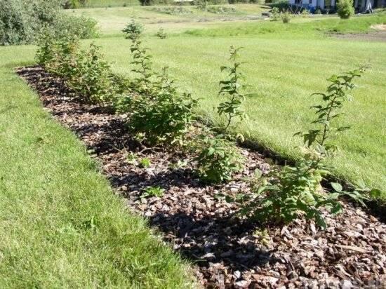 Малина дерево фото сортов штамбовая малина выращивание и обрезка малиновое дерево размножение