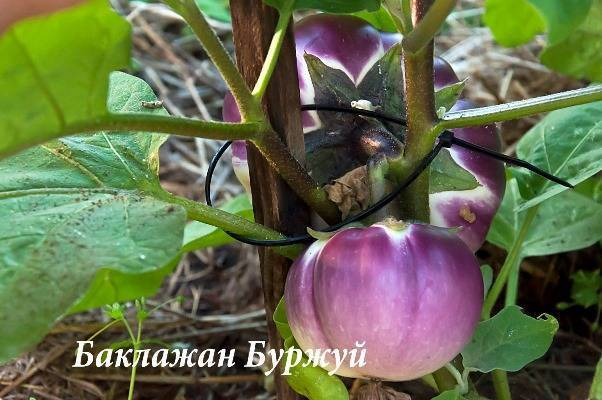 Баклажан буржуй: описание сорта, фото, характеристика плодов, отзывы, урожайность, достоинства и недостатки, особенности выращивания
