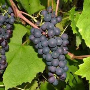 Виноград альфа: описание сорта, посадка, уход