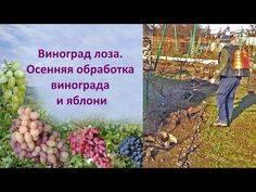 Виноград богема: описание сорта, фото, отзывы