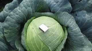 Ринда f1: особенности урожайного гибрида капусты
