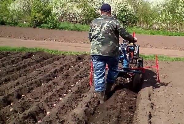 Технология посадки картофеля мотоблоком с окучником, плугом - видео и советы