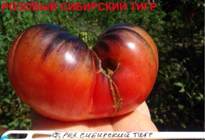 Универсальный сорт помидоров для салатов, засолок и сушения — томат «метелица»