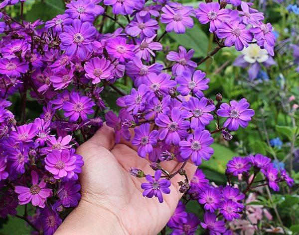 Цинерария: виды, уход, посадка и выращивание