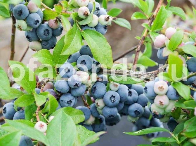 Черника садовая – посадка и уход в открытом грунте