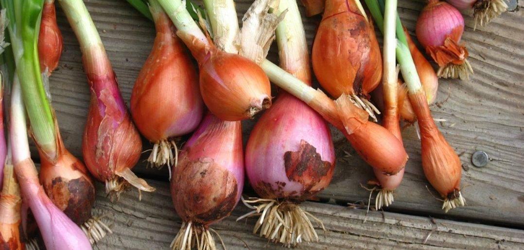 Семейный лук: посадка, выращивание и уход в открытом грунте с фото