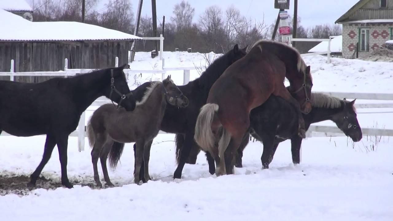 Случка лошадей: особенности и как происходит | мои лошадки