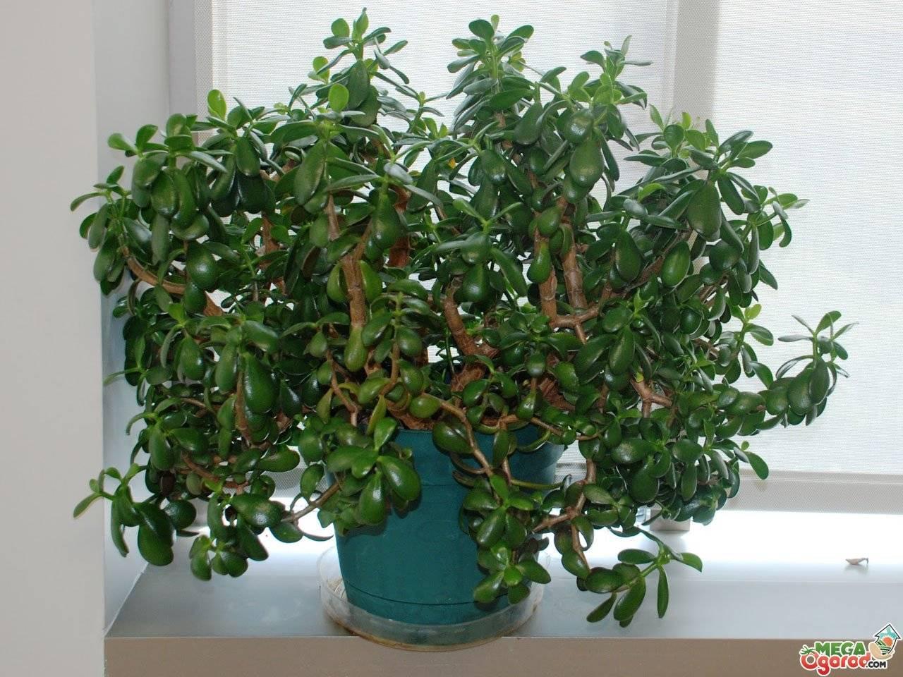 Почему вянет денежное дерево и что делать, как реанимировать толстянку если она завяла и ее листья и ветки сохнут