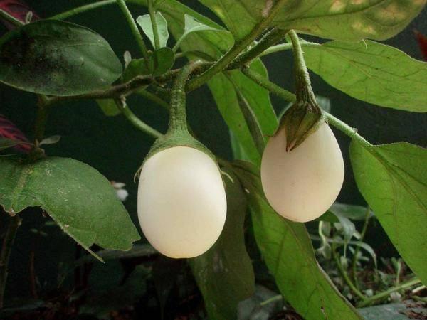 Выращивание баклажанов в открытом грунте от посева семян до сбора урожая