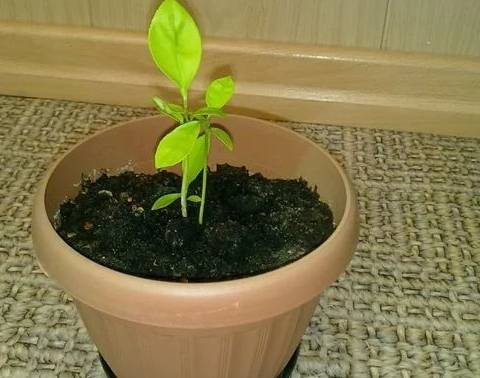 Выращиваем грейпфрут дома, правила посадки и ухода